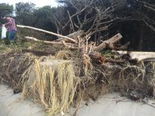 driftwood pushed into vegetation-King Tide