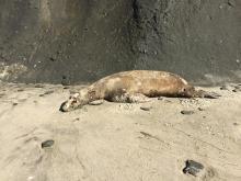 Dead Sea Lion.