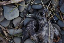 dead northern fulmar