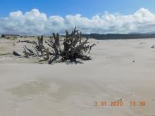 Landmark driftwood with new sand deposit