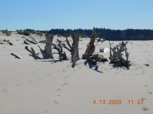 Landmark driftwood looking south to former snowy plover location