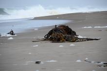 Bull Kelp Mass on Beach