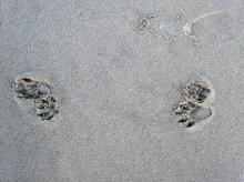 Maybe Raccoon tracks