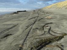 Natural dune reconstruction, evidence of vehicle traffic