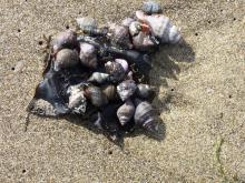 snail shells in wrack line