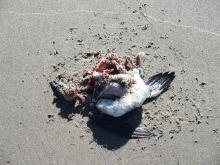 Dead bird- Common Murre? - found on the driftline