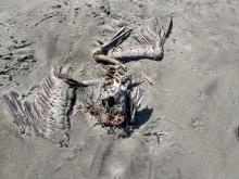 brown pelican carcass