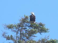 Resting bald eagle