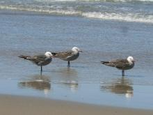 Heermann's Gulls on Manzanita Beach.