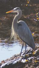 Photo taken in Whale Cove.  Was first seen fishing in small pool of water beneath a log.These herons often seek food (fish) in areas where fresh and salt water are close by, as is the case in the cove.