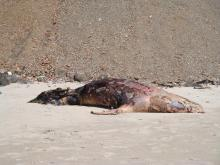dead sea lion, badly beat up, no tags