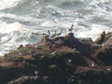 Pelican resting with seagulls on Heceta Head rocks.