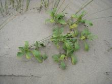 Plant on the fore-dune.  Found only 2 on the mile.