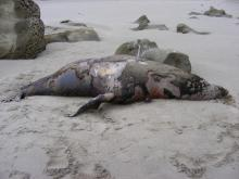 This dead male California Sea Lion was found on the south part of Sacchi Beach in the rocks.