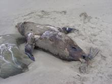 Here's another photo of the dead Califonia Sea Lion.  The animal is on it's back.  The holes are where scavengers (probably Turkey Vultures and gulls) have pecked at the carcass.