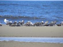 Lots of Western Gulls and Heerman's Gulls were on the mile today.
