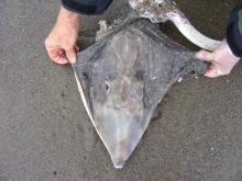 This view shows the Longnose Skate's (Raja rhina)head.