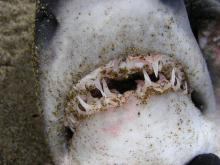 Salmon Shark teeth showing two rows of teeth, typical of sharks.