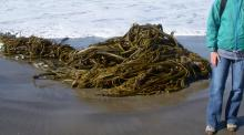 Bull Kelp, about 30-36 inches deep