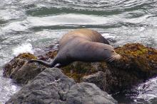This California Sea Lion came ashore as we were looking down from the headland.  Once we got home and looked at the pictures, it appeared that there were some cuts on the neck area of this animal.