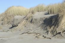 Representative dune erosion on southern half of mile.  Dune is about 6-8 feet high.
