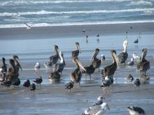 There was quite a mixture of birds on the beach this day.