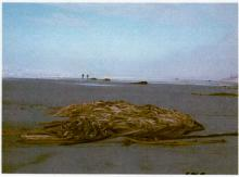 One of the huge piles of bull kelp (Nereocystis)
