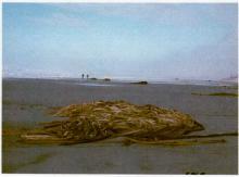 One of the huge piles of bull kelp (Nereocystis)