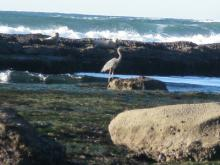 Blue Heron and Seals at Marine Gardens