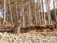 Erosion of bank below tree line, Cape Lookout State Park