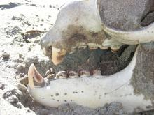 The decayed teeth are one sign that this animal probably was an older animal.