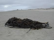 One of several large tangle of Bull Kelp washed up on Heceta Beach recently