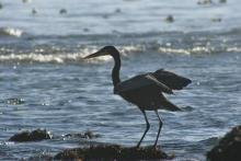 Great Blue Heron at South Cove, Cape Aragon, December 2008
