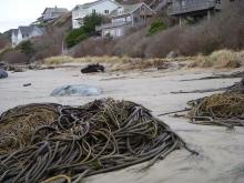 Recent storms pushed large piles of Bull Kelp high on the beach