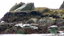 Seven Harbor seals hauled out on offshore rocks just off Fivemile Point.