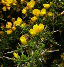 Gorse, <em>Ulex europaea</em>, has some truly wicked thorns, seen here in closeup. It also has a rather attractive deep yellow blossom, but please, don't plant it in your garden.