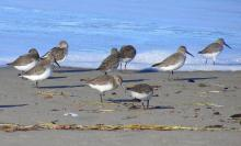 Lots of Dunlins today foraging in the surfline.