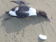 Murrelet seems recently dead. No bands, no bleeding or wounds.  Good condition of feathers, feet, plumpness, and beak seems to indicate a youthful age.