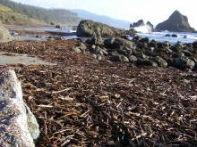 Lots of sticks in the intertidal area today.  Today's low tide made it easy for us to check out the tidepools for duff, but they were clean.