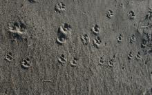 These are red fox tracks - some of them are small suggesting sub adult.