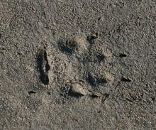 Red Fox track showing heal and toe calluses which are  characteristic of these tracks.