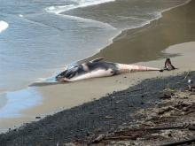 Closer look at dead Fin Whale from Cape Creek Bridge