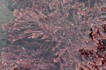 "A ""coralline"" red alga, <em>Bossiella orbigniana subsp. dichotoma</em>, under water in a tidepool. The hard calcareous exterior protects the plant from abrasion by sand."