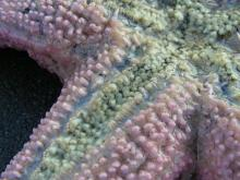 Here you can see the large spines and tube feet of this pretty sea star.