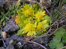 This has just begun to bloom on the headland and is a common plant on high windswept headlands in this area.
