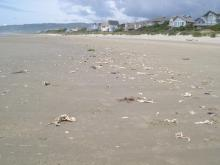 """Drift line lined with 100s of approx 2-6"""" crab casings and recently cannibalized body.  Also large sand flea casing among crabs."""