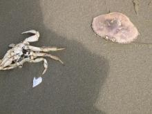 Many crab cases along with many crab legs/bodies. Example of size.  Flesh cleanly picked.