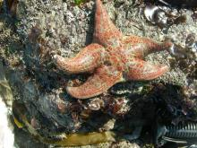 This interesting sea star eats anemones as well as purple sea urchins and other invertebrates.  The skin feels very slippery to touch.