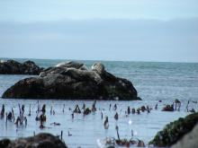 We saw 45 Harbor Seals today.  The new blades of the kelp, Laminaria are starting to grow already.