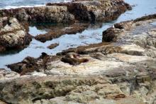 Sea Lions on the southern headland of the North Cove - Cape Arago